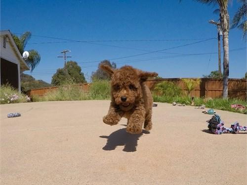 Female Cavapoo Puppy!!!