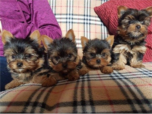 Absolutely Yorkie puppies