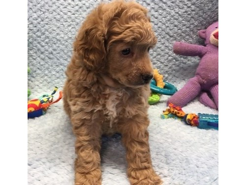 Toy Poodle Puppies For Sa