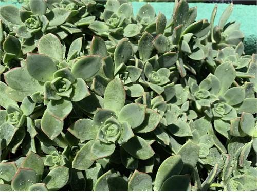 Haworthii Aeonium