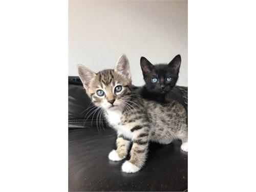 Cute Bengal Kittens.@
