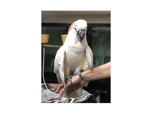 Molucanna cockatoo