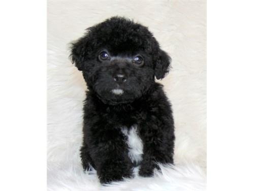 Poodle/ Male- Black
