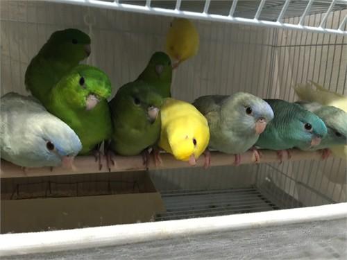 Lineolated Parakeet Bird
