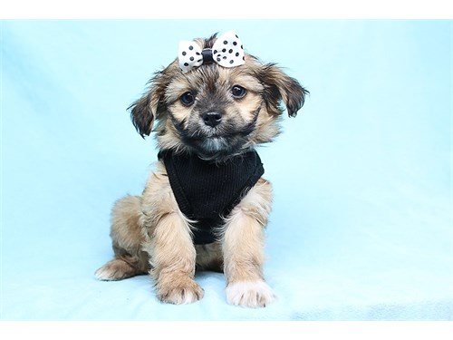 Lloyd - Teacup Yorkipoo