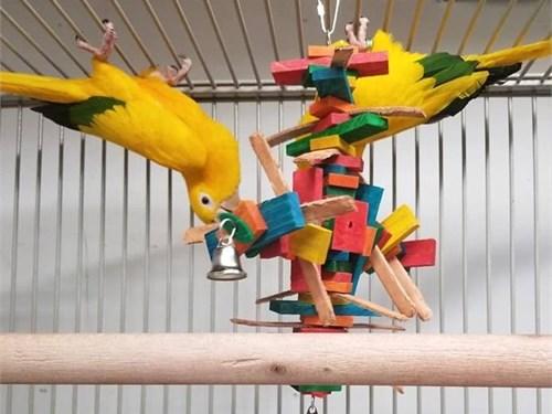 Golden Conure Parrot Pair