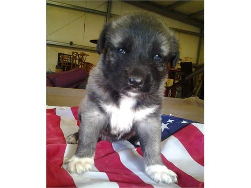 Anatolian Shepard pups