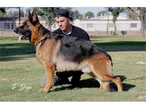 AKC German Shepherd Pups