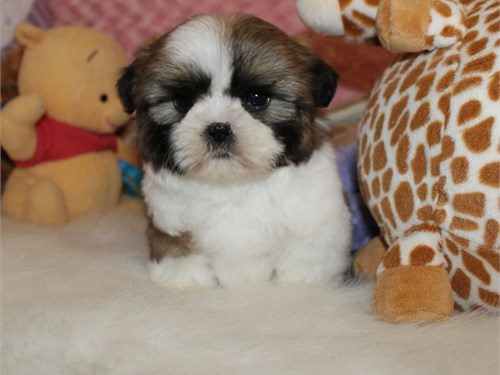 CKC Female shih tzu