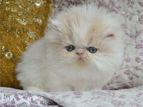Larry Persian Kittens.