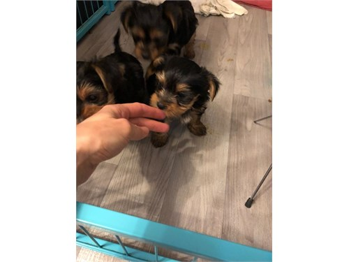 Charming Yorkie puppies