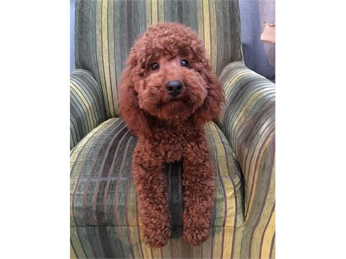 500 for toy poodle Puppy