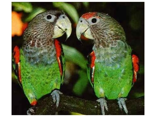 cape parrot African pair