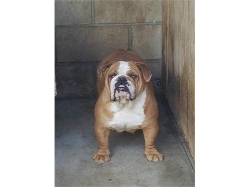 Adult English bulldog