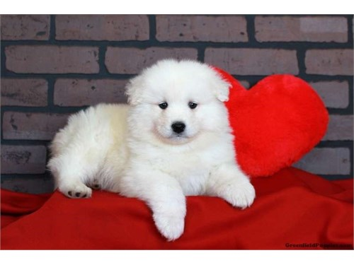 Adorable Samoyed Puppy