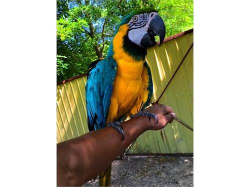 Adorable Macaw parrots