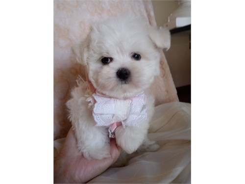AKC Tcup Maltese puppies