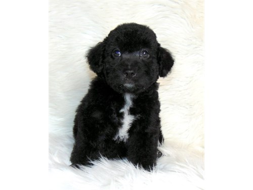 Poodle/black color male
