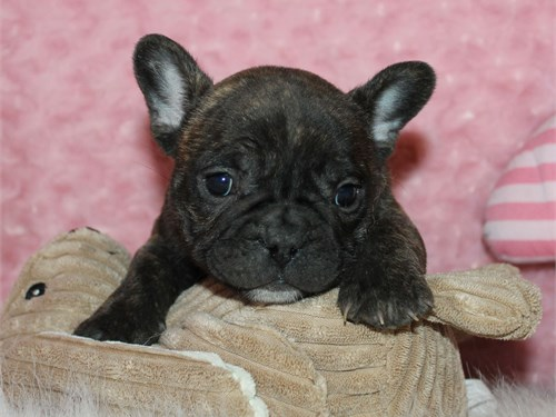 AKC Brindle male frenchie