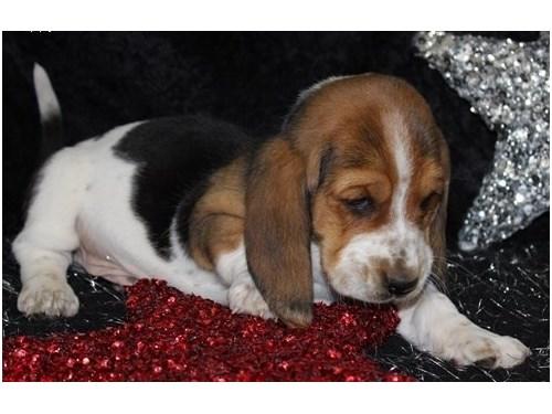 Basset Hound Puppies For