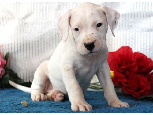 Dogo Argentino puppies!!