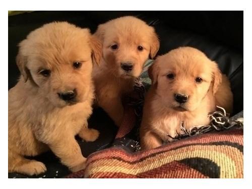 Golden Retriever Pups#$