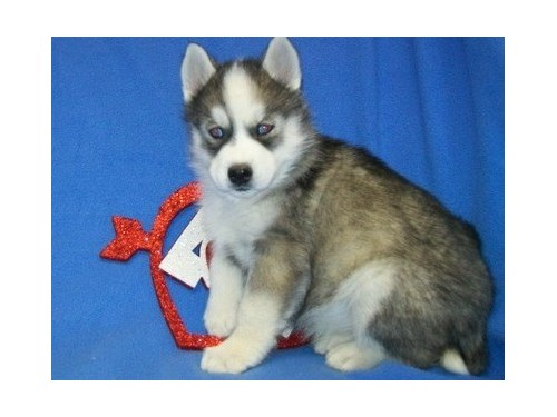 2 Husky Puppies For Sale