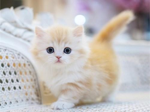 Active Munchkin Kittens