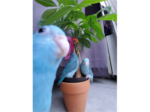 Parrotlets 2 month old
