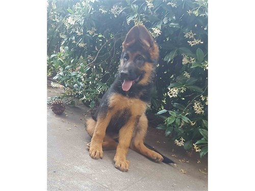 AKC Purebred GSD Puppies