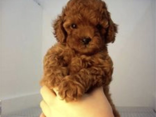 SMALL RED MALTIPOO PUPPY