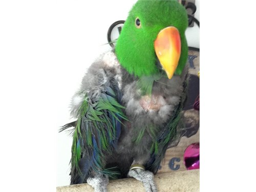 Trade Eclectus for