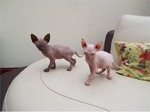 Rocky sphynx kittens