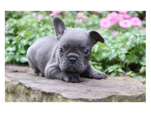 Attractive French bulldog
