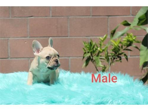 Frech Bulldog Puppy