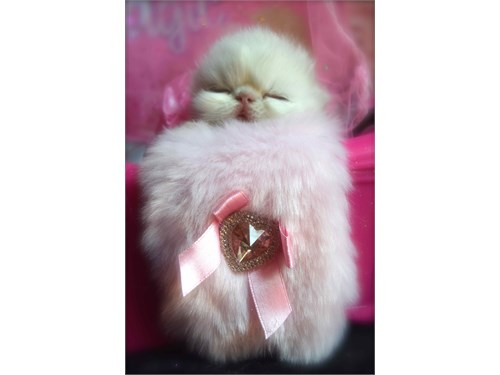 Himalayan kittens 4 sale