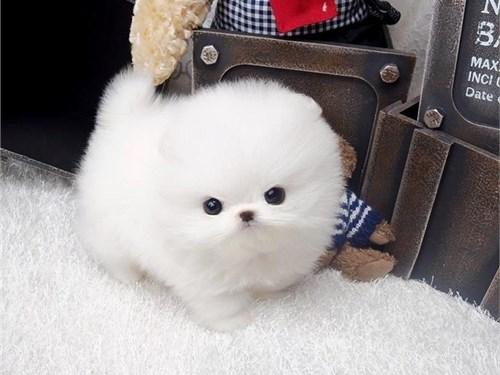 Teacup White Pomeranians