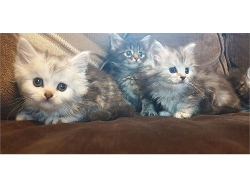 Maine Coon Kittens$