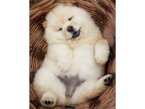 Two Chow Chow Puppies