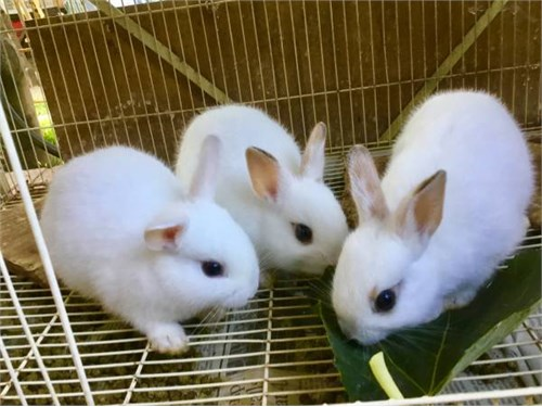 Mini Rex dwarf bunnies