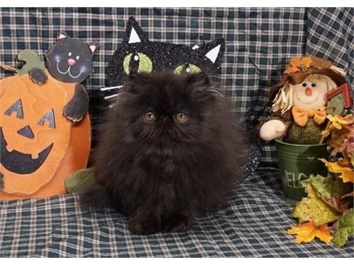 Top Quality Black Kitten