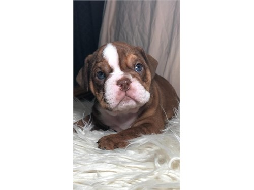 English Bulldog AKC