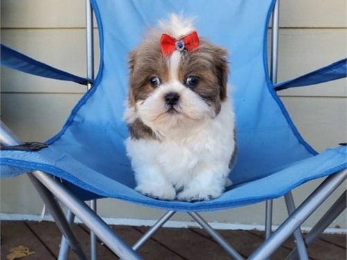 Adorable Shih Tzu Pups
