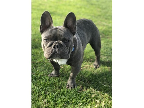 Frenchie stud service