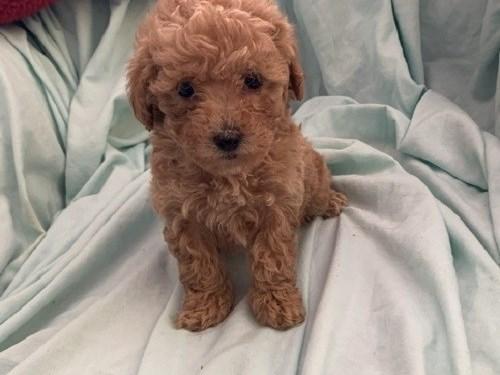 Maltipoo Puppies so cute