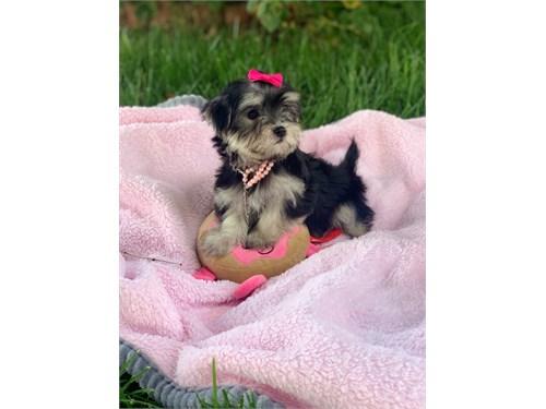 Tiny Female Morkie Puppyi