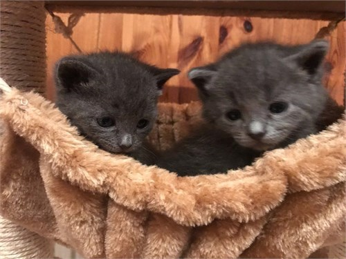Full Russian Blue Kittens