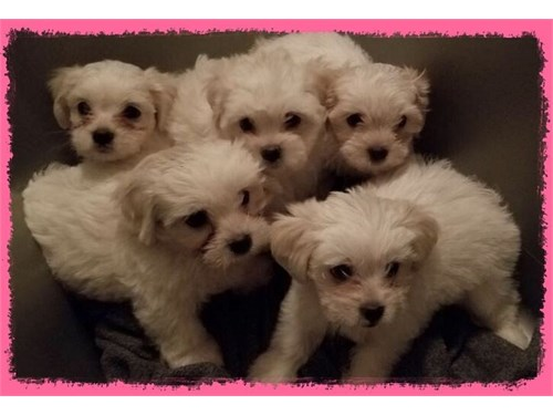 Baby Doll Maltese Puppies