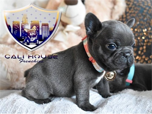 AKC Frenchie Puppies