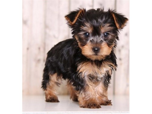 little Yorkshire Terriers